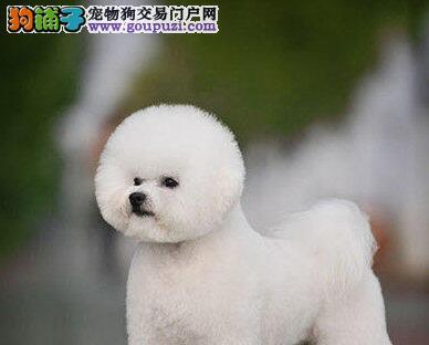 呼和浩特狗场直销卷毛棉花糖比熊犬 数量有限速来选购