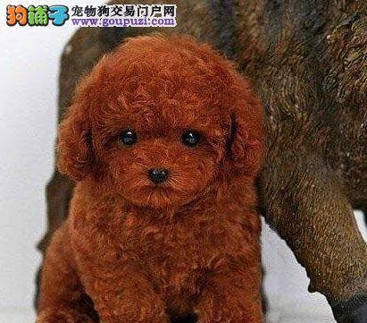 高端泰迪犬幼犬、实物拍摄直接视频、等您接它回家