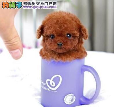 各种颜色专业家养赛级玩具泰迪熊宝宝,可来家看狗
