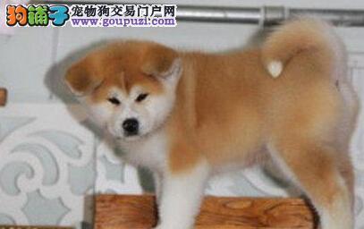 北京繁殖基地出售多种颜色的秋田犬爱狗人士优先狗贩勿扰