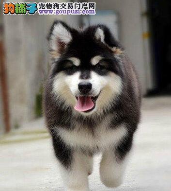 高大威猛巨型阿拉斯加雪橇犬 郑州犬舍专业出售 签协议