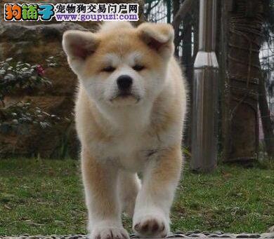 纯种秋田宝宝无锡正在热销 非常忠诚得狗狗 欢迎上门