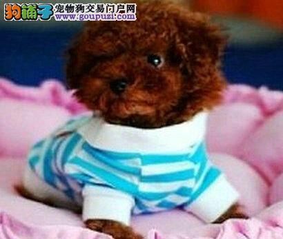 出售韩国血统贵宾犬 济南地区有正规犬舍公母全颜色多