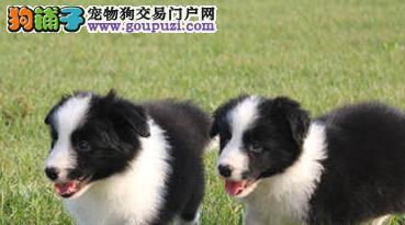 基地促销高品质质边境牧羊犬广州地区购买可优惠