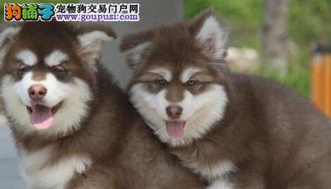 品质健康有保障北京阿拉斯加犬热卖中价格美丽品质优良