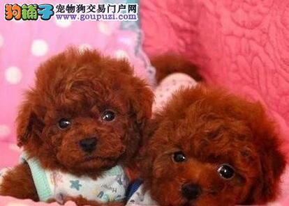 赛级泰迪犬幼犬 金牌店铺品质保障 等您接它回家