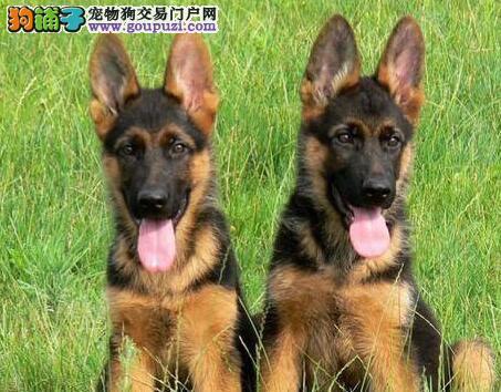 纯种德国牧羊犬直销,一宠一证证件齐全,质保健康90天