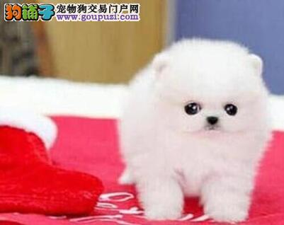 出售纯种小型运城博美幼犬 健康活泼好魅力 放心选购