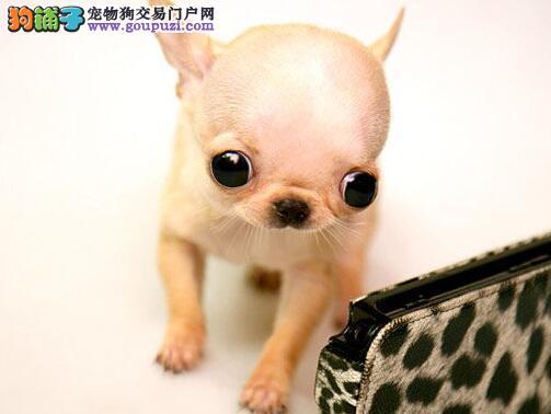 吉娃娃-超小型狗狗,听话聪明寻找新妈妈
