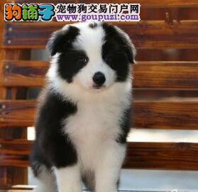 天津家养赛级边境牧羊犬宝宝品质纯正签订保障协议