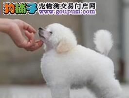 专业正规犬舍热卖优秀的龙岩贵宾犬三针疫苗齐全