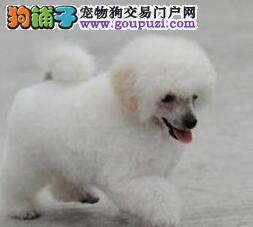 赛级贵宾犬、高雅、富贵、真正地位身份的象征。