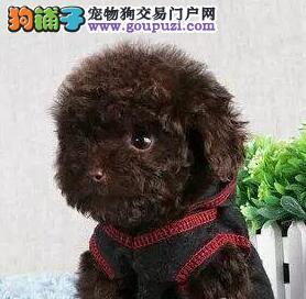 纯正血统的韩系临沂泰迪犬心动价格出售 保证身体健康