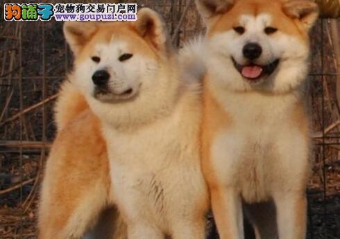 昆明犬舍直销血统纯正的秋田犬 信誉售后均有保障