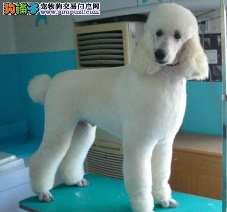 多只贵宾犬可挑选 随时接受看狗 重庆大型犬舍