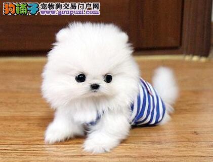 顶级优秀北京博美犬直销 外地可代办空运支持刷卡交易