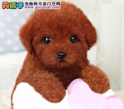 出售可爱韩系泰迪犬 可来沙坪坝可签订证书可办血统证书