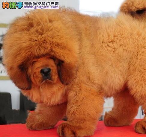 极品藏獒幼犬,一宠一证视频挑选,微信咨询看狗