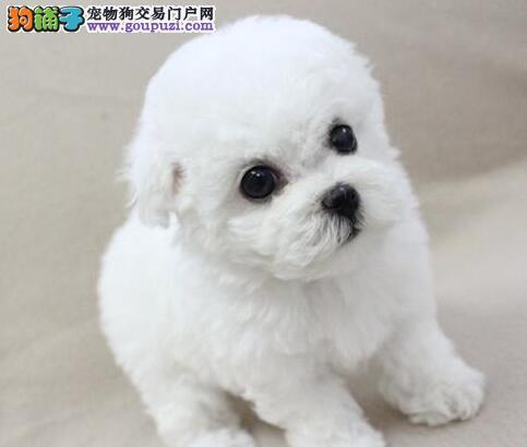 广州哪里能买到比熊 纯种比熊价格 比熊的照片