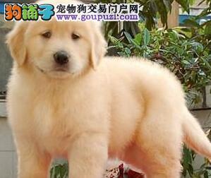 出售精品纯种大骨架金毛犬 成都周边可送狗欢迎购买