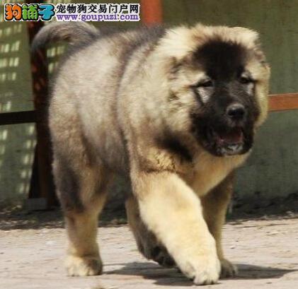 高大威猛,气度不凡高家索犬 2到3个月幼犬