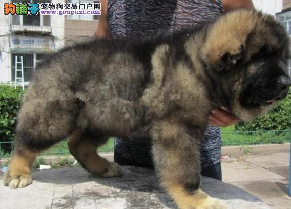 狗场多只高加索犬转让赣州地区上门购买可优惠