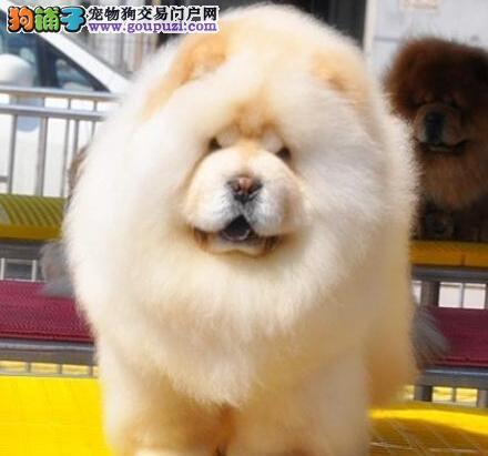 健康松狮犬促销价格出售中欢迎来成都实地考察终身质保
