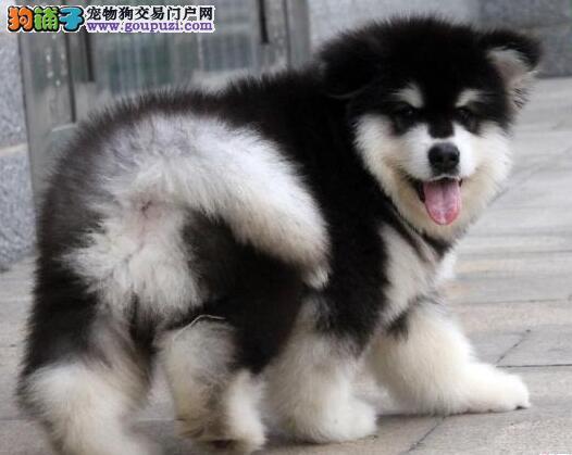 纯种美国血统血统阿拉斯加犬 cku认证喜欢的联系