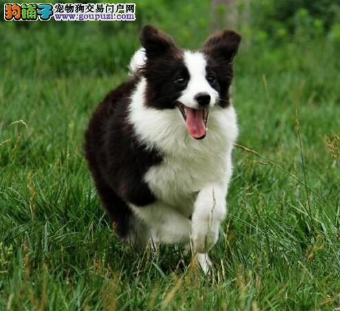 出售七白到位纯种成都边境牧羊犬 可签订终身质保协议