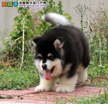 大骨架深圳阿拉斯加雪橇犬热销中 建议当面看狗有保证