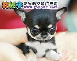 墨西哥修真吉娃娃幼犬本市免费送货上门 签协议