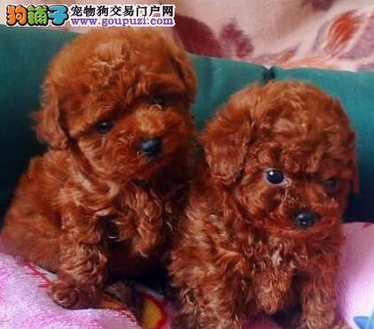 超可爱的贵宾犬天津低价出售 CKU犬业保血统 保成活率