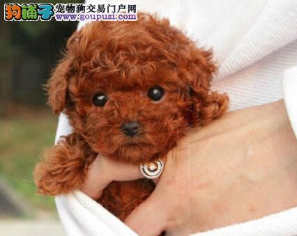 出售福州泰迪犬 跳楼价格转让欢迎爱狗人士上门购买