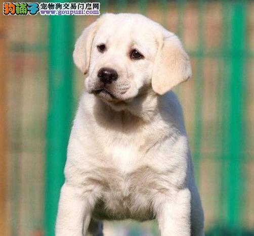 珠海出售神犬小七拉布拉多 专业繁殖 选择专业选择放心