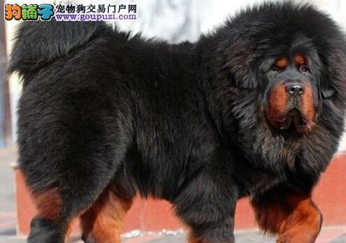 原生态藏獒珠海基地出售 大狮头 吊眼吊嘴 毛好骨量大