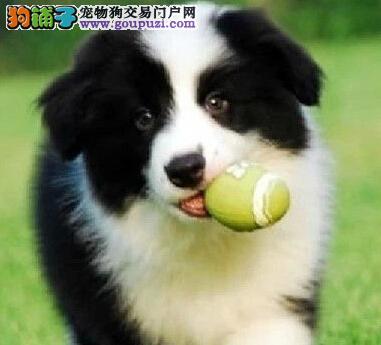 正规狗场犬舍直销边境牧羊犬幼犬质量三包多窝可选