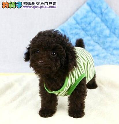 热销顶级优秀纯种韩系大连泰迪犬 有血统证书做好疫苗