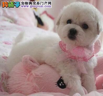 健康纯种比熊 广州正规犬业繁育直销