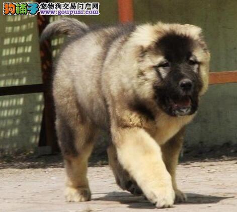 低价出售俄系苏州高加索犬 欢迎来犬舍直接考察