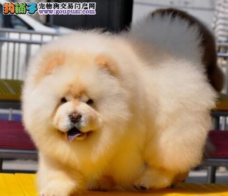 成都犬舍直销出售纯种紫舌松狮犬 保证品质价格可议