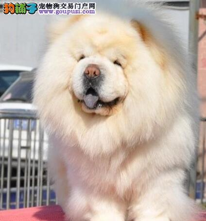 大嘴紫舌松狮犬低价转让 欢迎来南昌犬舍实地考察