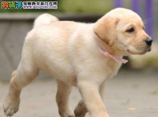 自家繁殖的青岛拉布拉多犬低价出售 签订合法质保协议
