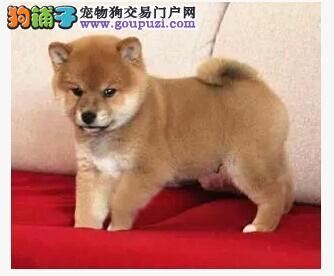 武汉哪里有卖柴犬武汉纯种柴怎么卖家养柴犬