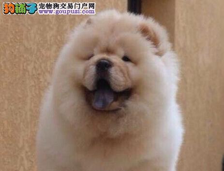 宁波自家繁殖美系血统大毛量大嘴松狮犬出售