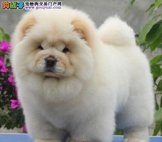 出售松狮幼犬,可看狗狗父母照片,购犬可签协议