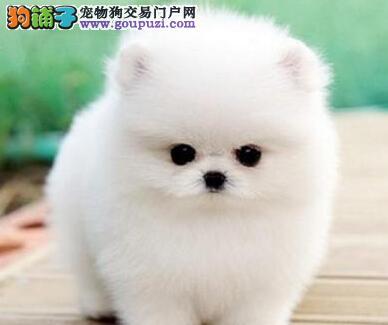 哈多利球形俊介血系的济南博美犬找新家 请您放心选购