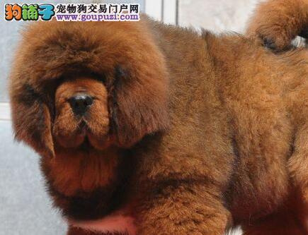 本獒园以培育血统纯正大狮头藏獒幼犬健康纯种有保证