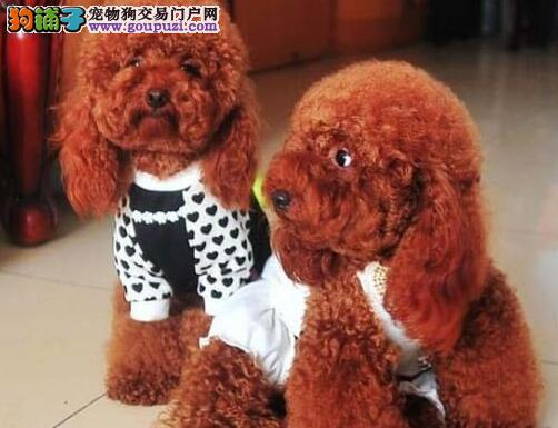 出售茶杯玩具血系的泰迪犬 济南的朋友可直接上门选购