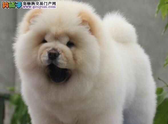 出售美系血统松狮幼犬 品相佳 健康纯种质保