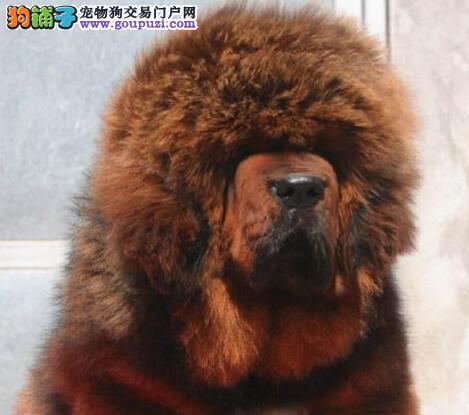 济南知名獒园出售大狮子头的藏獒幼崽 终身免费售后哦